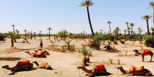 Camel Excursion in the Palm Grove